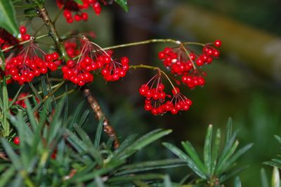 Outside red berries in rain