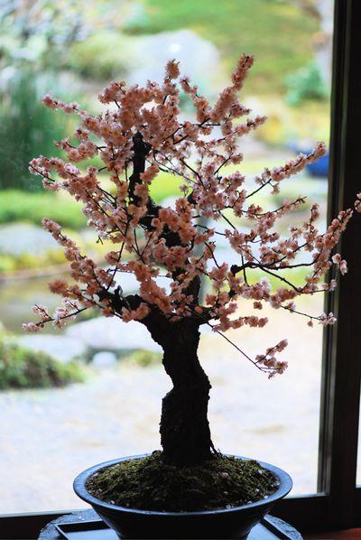 Blush bonsai