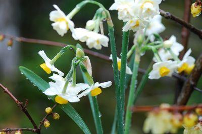 Daffodils outside in rain