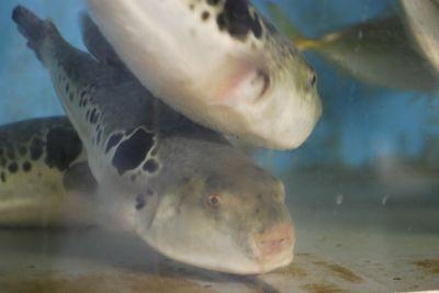 Blow fish in tank 2