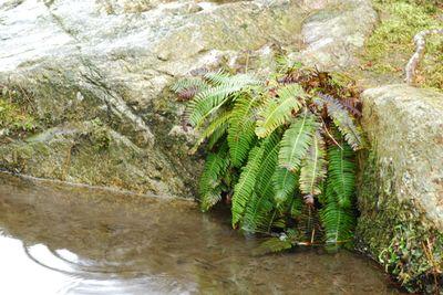 Outside water fern