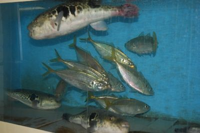 Blow Fish and other fish in tank