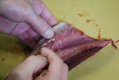 Tuna - using tweezer close up