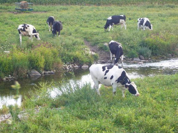 COW SCRATCHEN ITS HEAD
